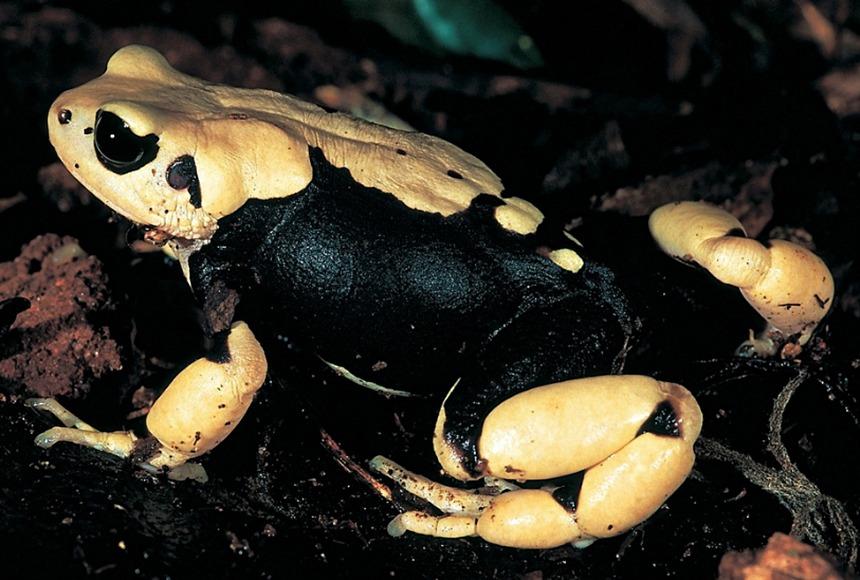 Morogoro Tree Toad