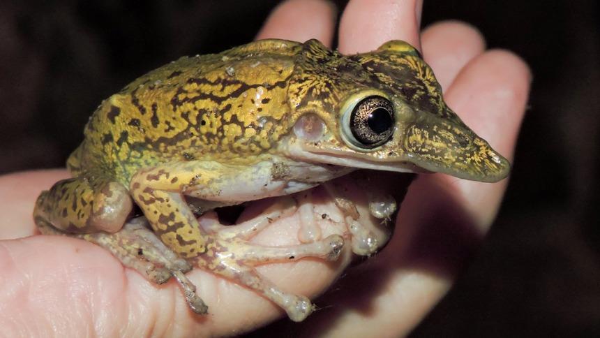 Shovel-headed Tree Frog