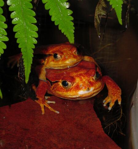 Tomato Frog Amplexus