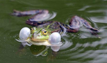 Frog Croaking in Water