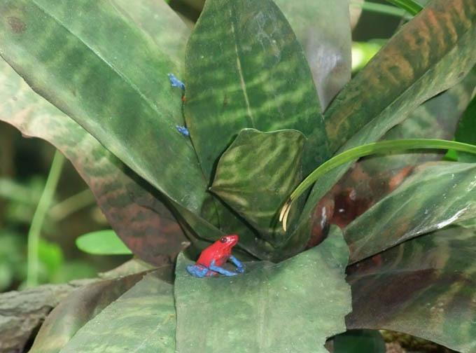Bromeliad & Poison-Dart Frog