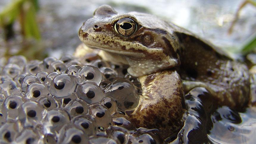Frog Egg Clutch