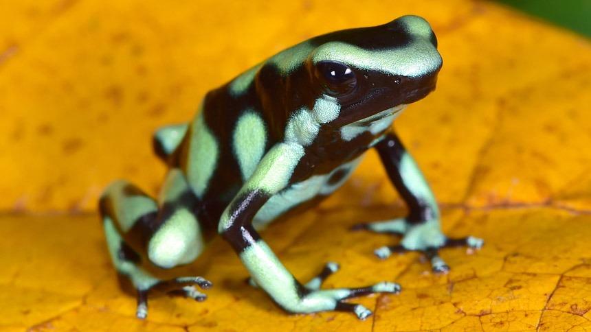 Poison-Dart Frog on a Leaf