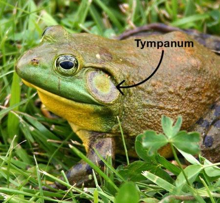 Frog Tympanum