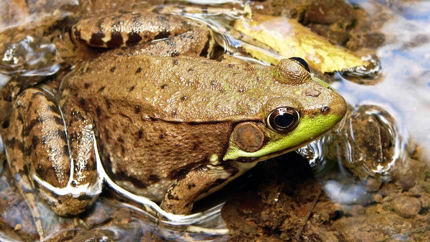 Frog Tympanum Post
